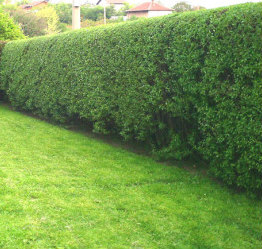 Hedge after triming